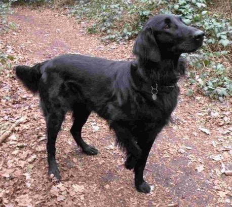 Five-year-old flat-coated retriever Erin